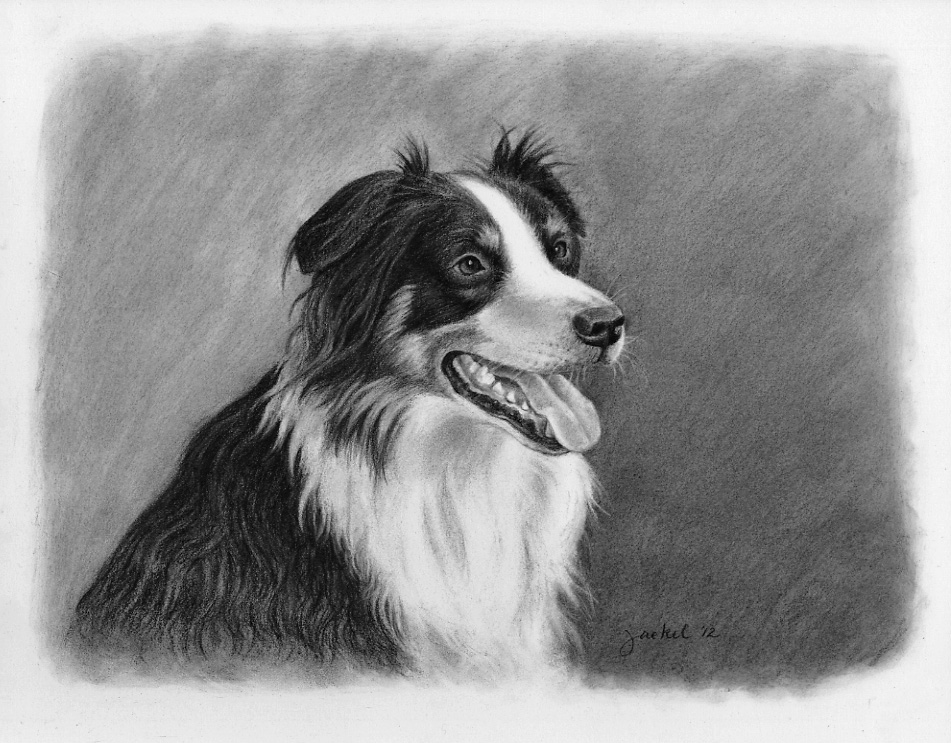Border Collie pet portrait- Gus